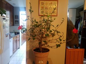 Large hibiscus real plant indoor blooming for Sale in Chicago, IL