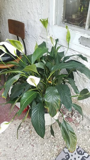 Large peace lily plant in basket for Sale in Downers Grove, IL