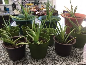 Aloe Plants for Sale in Wellford, SC