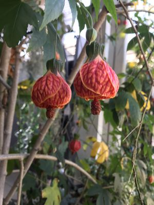 Chinese lantern plant for Sale in Paramount, CA