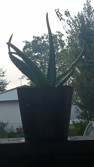 Aloe vera plant in Cuban cigar pot for Sale in Pasadena, TX