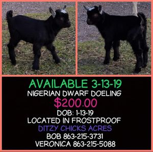 Nigerian Dwarfs for Sale in Frostproof, FL