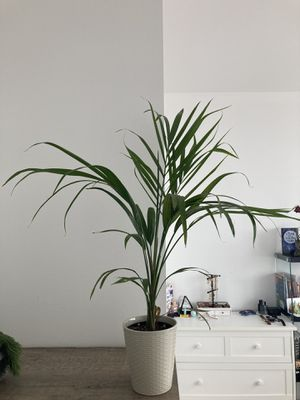Lucky bamboo plant (indoor, minimal care) for Sale in New York, NY