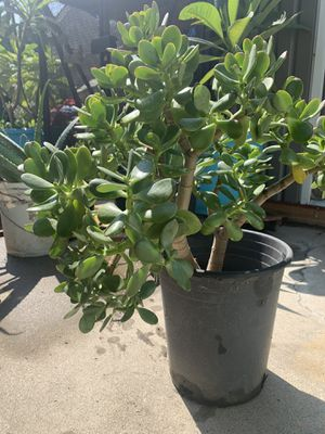 Jade plant for Sale in Lakewood, CA
