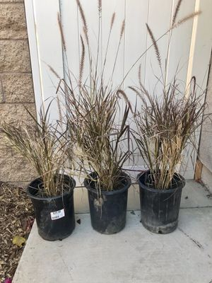Fountain grass for Sale in Corona, CA