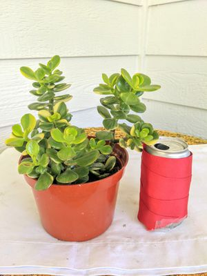 """#2, Variegated Jade Succulent Plants in 6"""" Plastic Pot-Real Indoor House Plant for Sale in Auburn, WA"""