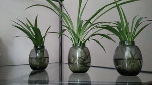 Spider plants for Sale in Boulder, CO
