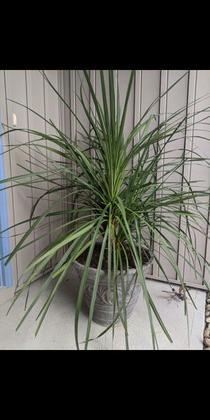 Large Potted Palm Plant for Sale in North Ridgeville, OH