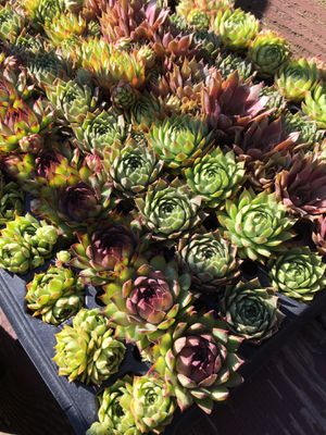 Individual Succulents for Sale in St. Louis, MO