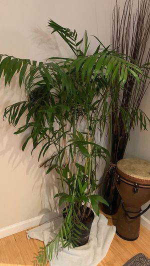 Beautiful 5 ft palm plant for Sale in Portland, OR