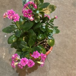 Flowering pink Succulent for Sale in Beaverton,  OR