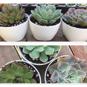 Set Of Three Large Succulents In Minimalist White Pots for Sale in Fresno, CA