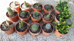 Succulents Cactus in a 6 by 5 inches Terra Cotta pot $5.00 each. Cactus en maceta de barro a $5.00 for Sale in Forest Hill, TX