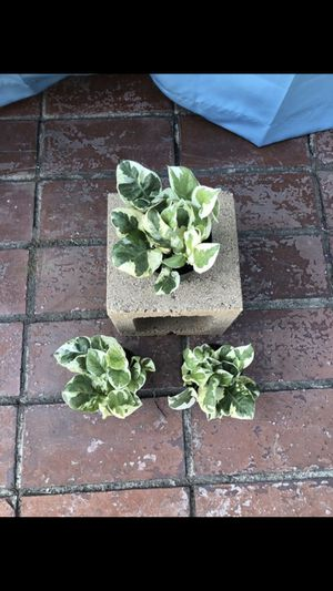 N'Joy Pothos Plant for Sale in Covina, CA