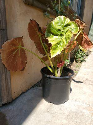 Garden Plants Backyard for Sale in Hacienda Heights, CA