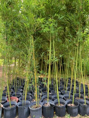 Bamboo hedging plant for Sale in Miami, FL