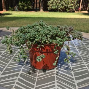 Corsican Stonecrop Succulent for Sale in Dinuba, CA