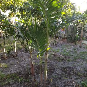 Palms for Sale in Lake Worth, FL