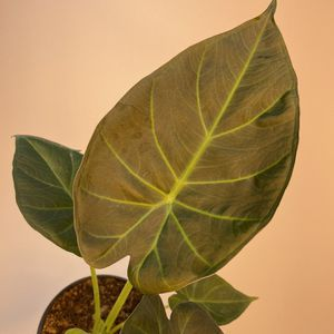 "Alocasia Regal Shield 4"" for Sale in Orlando, FL"