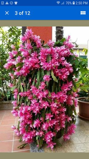 Epiphyllum plant. for Sale in Loomis, CA