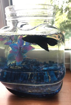 Beta fish for Sale in Bothell, WA