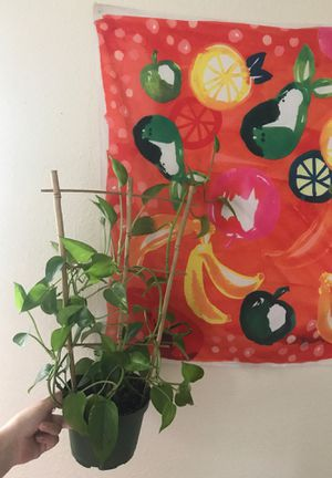 Pothos Ivy with trellis for Sale in Austin, TX