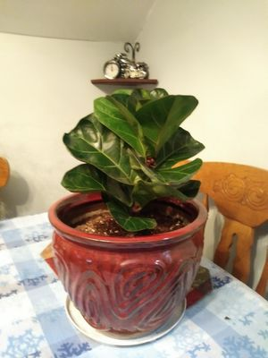 House Plant Fiddle Fig Leaf for Sale in Cleveland, OH