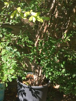 Pomegranate tree for Sale in Upland,  CA