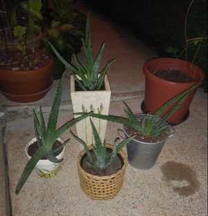 Aloe Vera house plants for Sale in St. Louis, MO