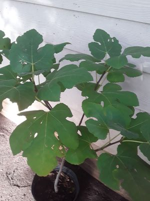 Higuera (de higos morados) for Sale in Atascosa, TX