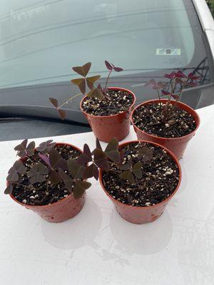 Oxalis/ purple shamrock for Sale in Cypress, CA