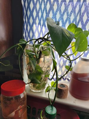 Money plant for Sale in Saint Charles, MD