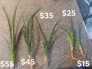 Hybrid Sans. Parva × Suffruticosa for Sale in Moreno Valley, CA