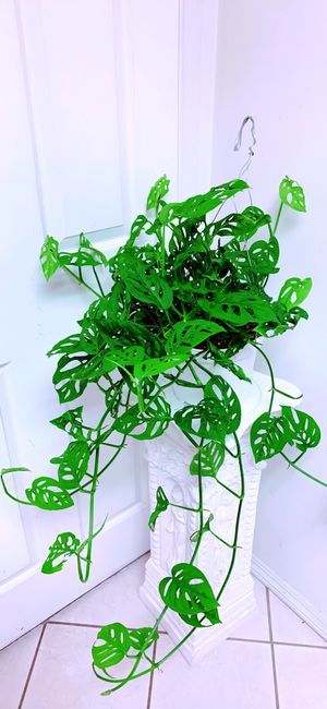 """Big Basket of Monstera Adansonii Swiss Cheese Live Plants - Indoor Air Purifier Plant - 8"""" Hanging Container - 2 feet wide x3 feet long plants for Sale in Garden Grove, CA"""