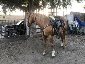 Cuarto de milla , quarter horse for Sale in Commerce, CA