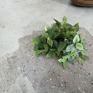 Plant for Sale in Santa Clarita, CA