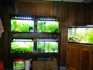 Assorted Fancy guppys 2 to 4 dollors each for Sale in Grosse Pointe Woods, MI