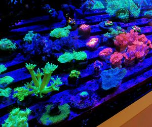 Goniopora Coral Frags for Sale in Hialeah, FL