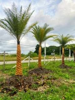 Phenix Sylvester. Palm. Sale for Sale in Princeton, FL