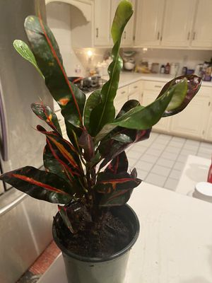 """Croton Mammy 12"""" tall so many beautiful colors for Sale in Arlington, TX"""