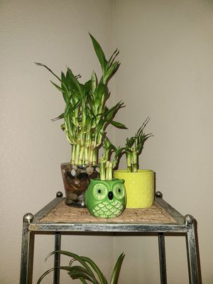 Lucky bamboo plants for Sale in Stockton, CA