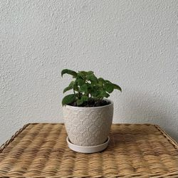 """Moon Valley Pilea w/ 6"""" Ceramic White Pot for Sale in Golden,  CO"""