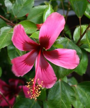 Hibiscus Hybrid Sinensis for Sale in Tampa, FL