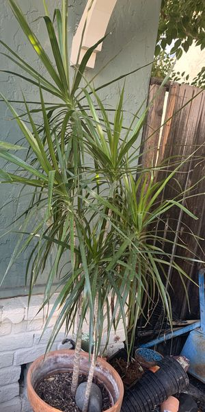 Beautiful Plant Dracaena Marginata for Sale in Mountain View, CA