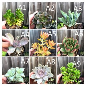 "All Succulents in 2"" and 2.5"" for Sale in San Lorenzo, CA"