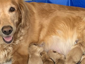 Akc Golden Retriever Puppies for Sale in Columbus,  OH