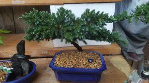 Bonsai juniper blue for Sale in Fresno, CA
