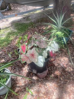 Caladiums wide variety plant now cover in winter for years of beautiful color 5$ i gallon pot also many other plant varieties for Sale in Frostproof,  FL