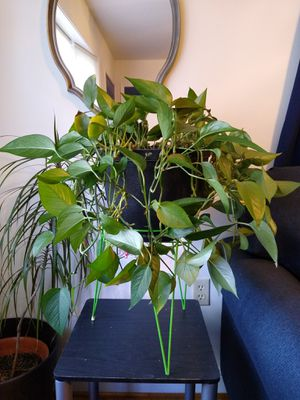 Philodendron in 9.5 Inch Plastic Pot for Sale in Farmville, VA