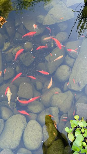 Koi/carp for Sale in Chico, CA